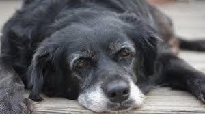 perro senior